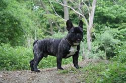 Die Französische Bulldogge ist ein muskulöser, drahtiger und beweglicher Hund.