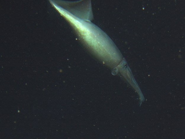Humboldt-Kalmare sind auch für Menschen gefährlich.