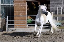 """Das Andalusier-Pferd hat eine besondere Eignung zur """"Hohen Schule"""". besonders"""