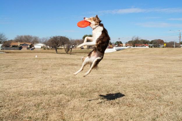 Der Border Collie ist ein sportbegeisterter Hund.
