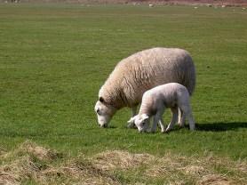 Texelschaf (Muttertier mit Lamm)