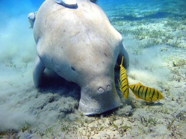 Dugong frisst Seegras.