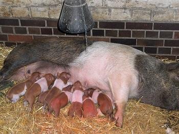 Rotbuntes Husumer Schwein (Sau) mit Ferkel.