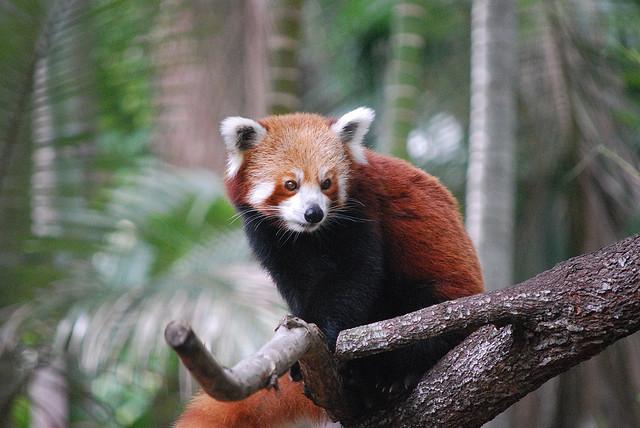 roter panda ailurus fulgens tiernah. Black Bedroom Furniture Sets. Home Design Ideas