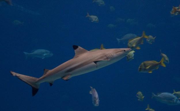 Der Schwarzspitzen-Riffhai