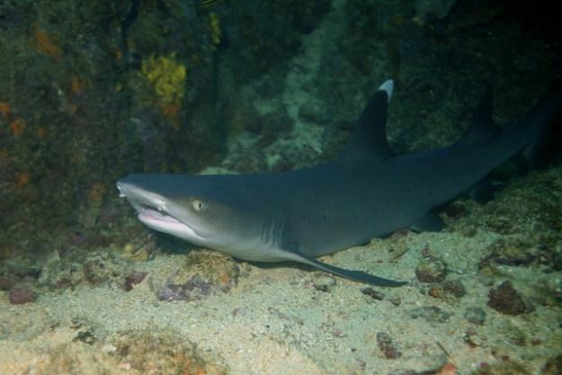 Der Weißspitzen-Riffhai ruht am Tage meistens in Riffhöhlen und -spalten.