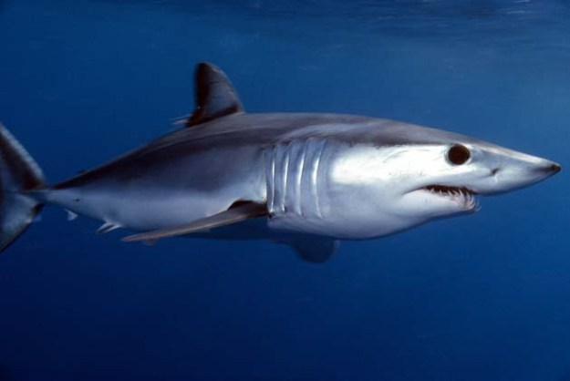 Der Kurzflossen-Makohai (Isurus oxyrinchus) ist näher mit dem Weißen Hai verwandt, als mit den Heringshaien.