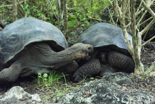 Galápagos-Riesenschildkröten besitzen einen eher sattelförmigen Panzer, der ihnen gestattet den Hals höher zu strecken, um damit höhere Pflanzen zu erreichen.