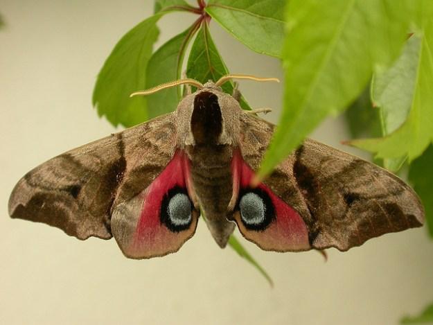 Das Abendpfauenauge ist ein Schmetterling (Nachtfalter) aus der Familie der Schwärmer (Sphingidae).