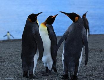 Der Königspinguin ist nach dem Kaiserpinguin die zweitgrößte Art der Pinguine.