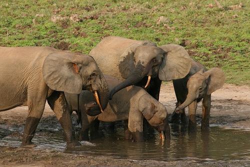 Waldelefanten sind durch Wilderei ständig bedroht.