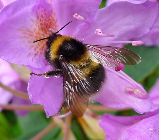 Die Gartenhummel (Bombus hortorum) kommt in ganz Europa vor.