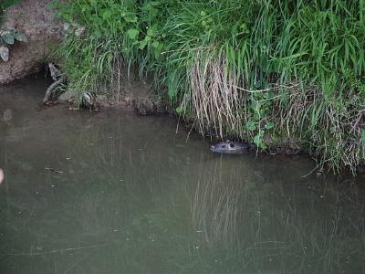 Bisamratte Uferboeschung