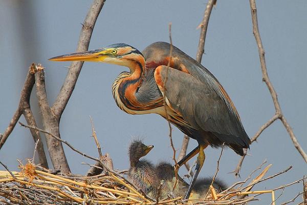 Purpurreiher betreut seine Jungvögel im Nest.