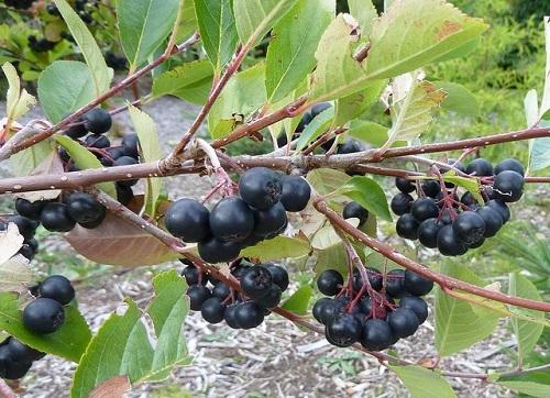 Reife Frucht der Aronia-Apfelbeere.