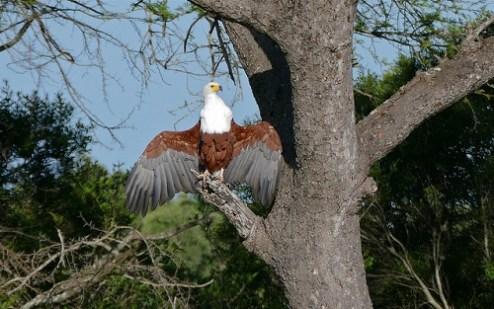 Schreiseeadler sitzen meistens auf hohen Bäumen.
