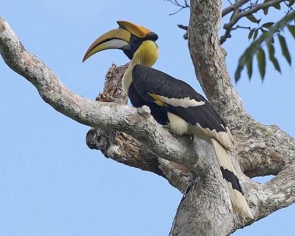 Der Doppelhornvogel hat je drei Krallen an den Füßen.