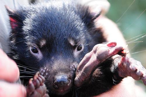 Tierpfleger hält ein Muttertier mit ihren nackten Nachwuchs in der Hand.