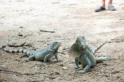 Grüne Leguane verlieren durch Zerstörung des südamerikanischen Regenwaldes immer mehr an Lebensraum.