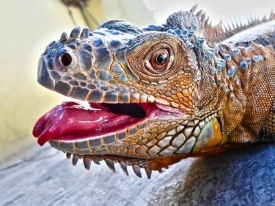 Grüner Leguan (Iguana iguana rhinolopha), der nicht immer Grün ist. Deutlich zu erkennen an den drei Nasenlöchern.
