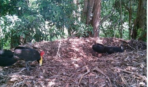 Das gesellige Buschhuhn ist in Australien ein heimisches Großfußhuhn.