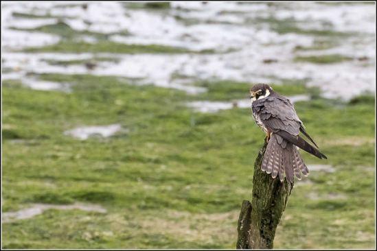 Der Baumfalke ist ein brutorttreuer Vogel.