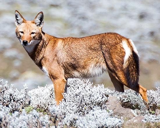 Der Äthiopische Wolf ähnelt in der Gestalt eines Schakals.