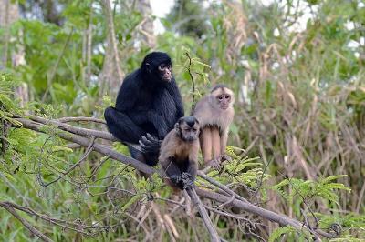 Die Braunkopfklammeraffen (Ateles fusciceps) sind schlank gebaute Primaten.