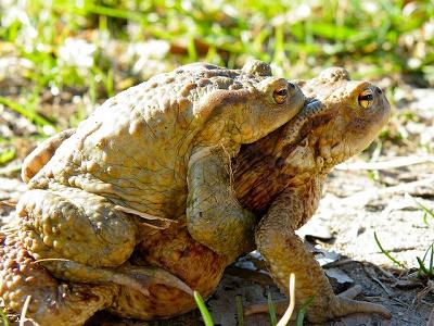 Kröten halten sich außerhalb der Laichzeiten an Land auf.