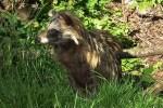 Marderhund