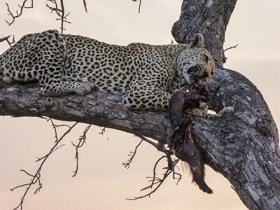 Beute Leopard
