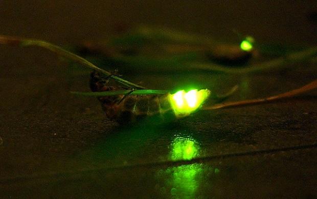 Glüwürmchen