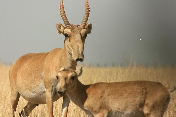 Saiga Antilope
