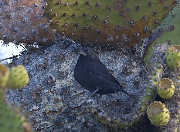 Kaktusgrundfink