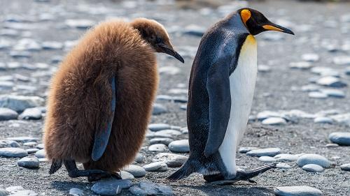 Pinguin Jungvogel