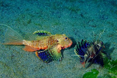 Blauflossen-Feuerfisch
