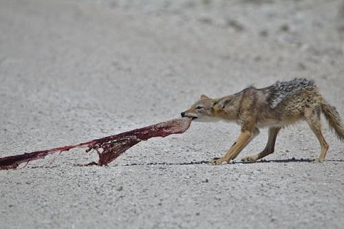 Wildhund Schakal