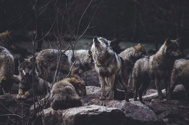 Wildhunde