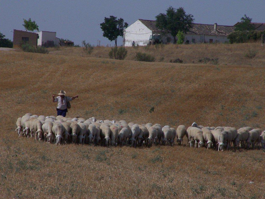 imagen de pastor de tierra de valdepusa