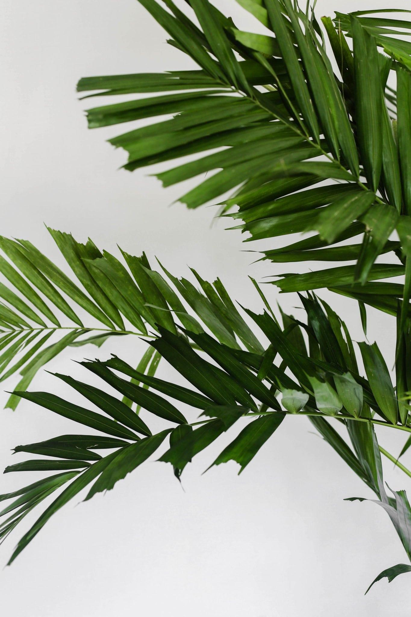 MacArthur Palm