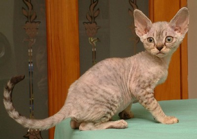 Katzenrassen D  Katzen  Rassen Ernhrung Physiologie Inhalt Training Zucht