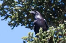 Grand corbeau 2