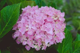 I saw the hydrangeas in our yard blooming so I took some time to photograph them.
