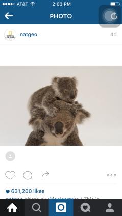 natgeo post: koala