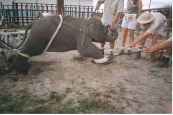 elephant torture1