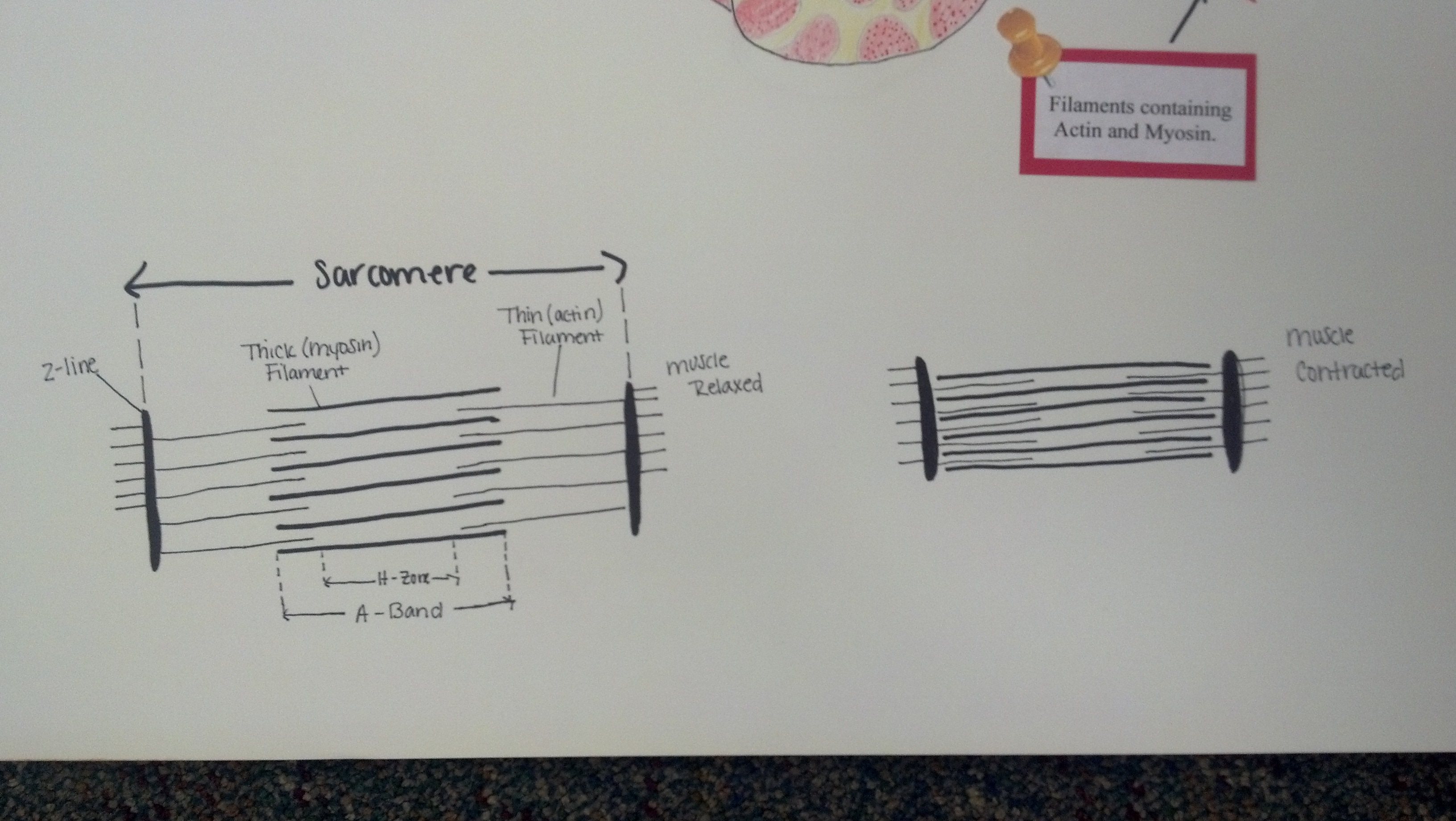 sarcomere diagram to label car led light wiring the sliding filament theory tiffanysanatomyblog