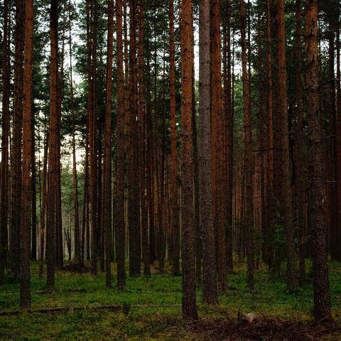 long trees in woods