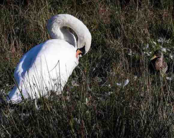 Swan and duck in field