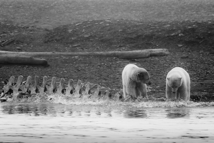 Polar Bears by Joe Decker