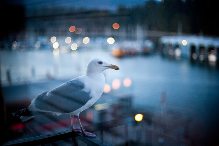 Vancouver Seagull | © Robert Lim